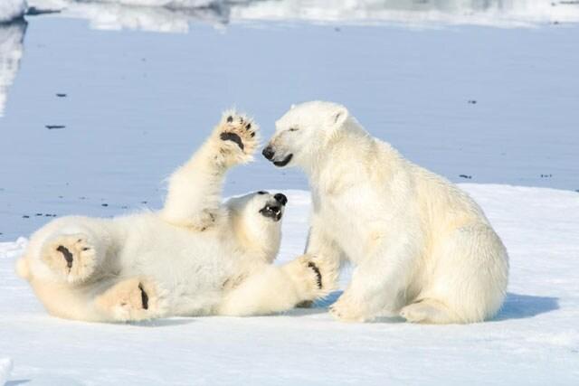 Anche gli orsi si fanno il solletico!