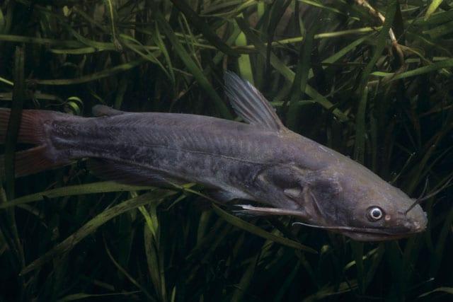 """Il pesce gatto nero, un nuotatore """"baffuto""""!"""