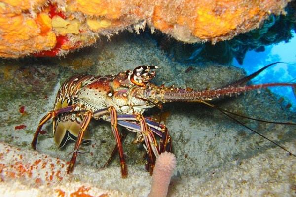 L'aragosta mediterranea