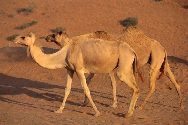 Il dromedario, il viaggiatore del deserto