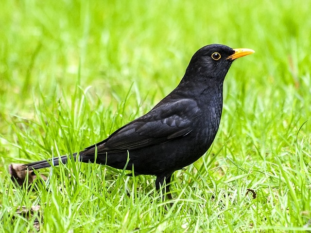 Un uccello total black: il merlo!