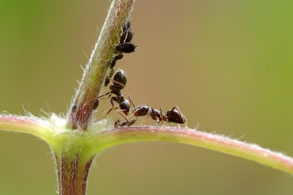 L'operosa formica nera