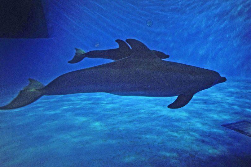 junior reporter, Mamma delfino parla con il suo piccolo al telefono