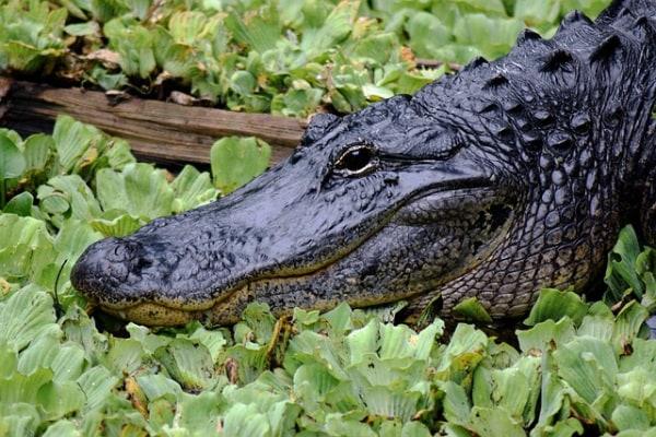 Rettili d'Oltreoceano: l'alligatore americano