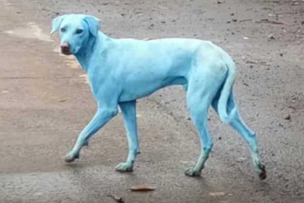 In India i cani sono blu. Ma non è una trovata pubblicitaria e i Puffi non c'entrano