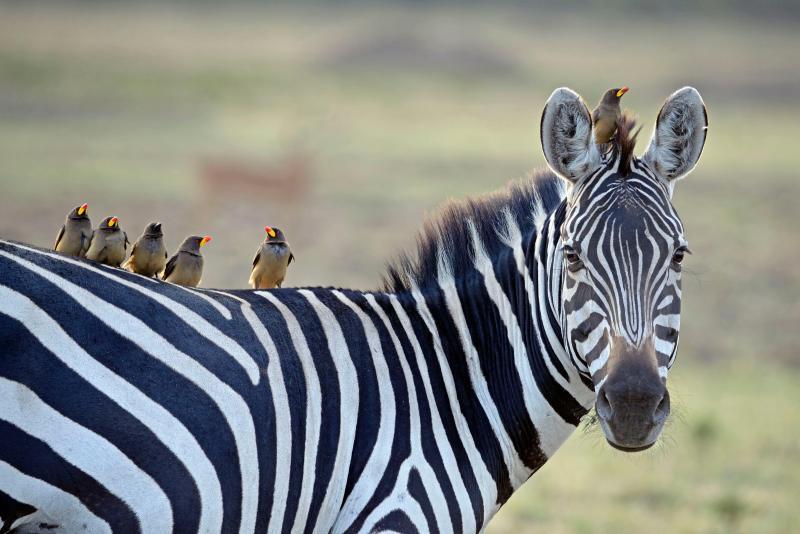 """Maestra, che gaffe: """"Zebra si scrive con due b!!"""