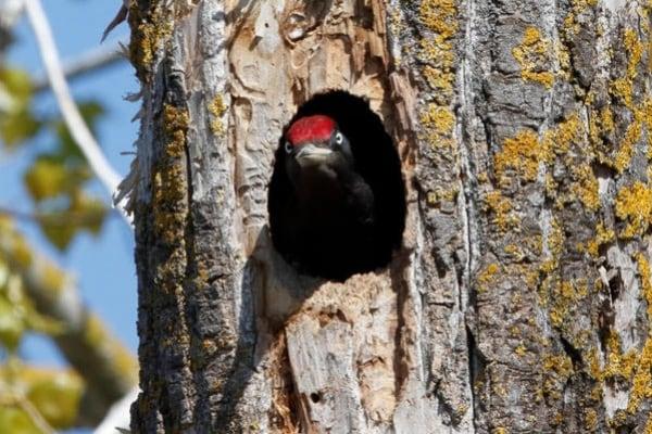 Uccelli: il picchio nero