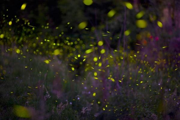 Un insetto fluorescente: la lucciola italiana!