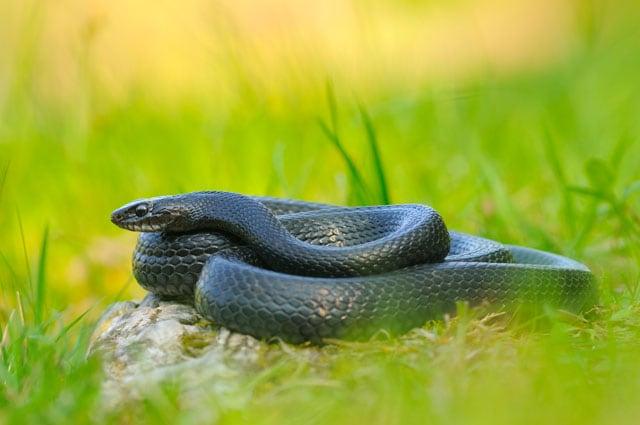 Il biacco, un serpentello europeo