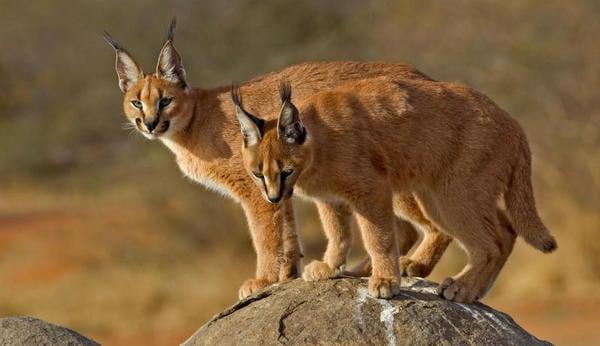 Il caracal: il gatto dalle lunghe orecchie a punta