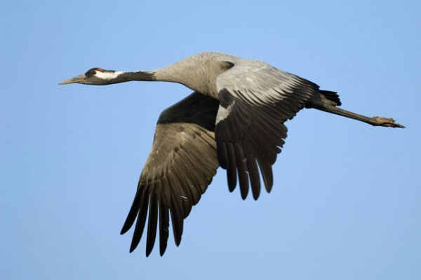 Uccelli migratori: la gru cenerina