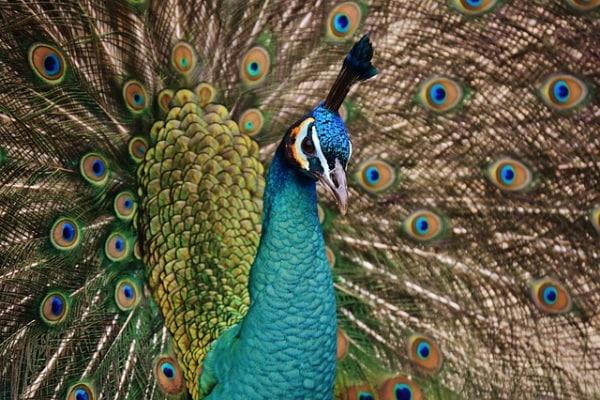 Il coloratissimo pavone