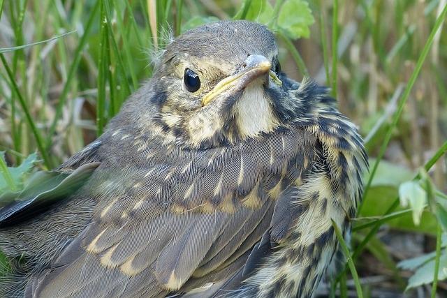 Uccellini caduti da nido: che cosa fare?