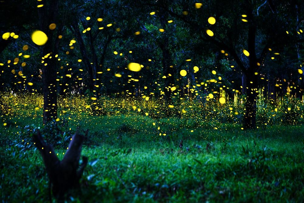 Lucciole o alberi di Natale? Il regno delle lucciole si trova in Malesia