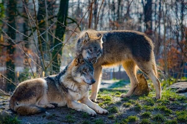 Cani e lupi sanno cos'è l'ingiustizia!