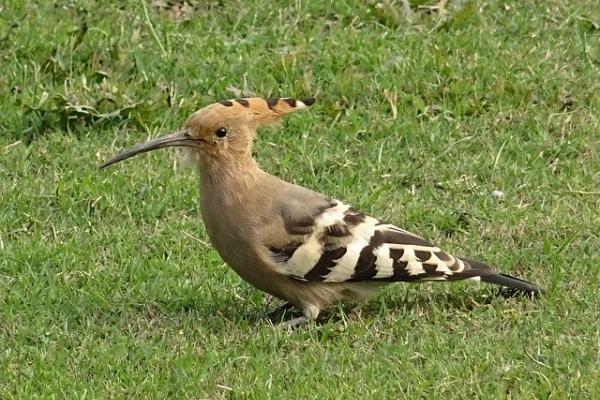 """L'upupa, l'uccello col """"ciuffo"""" !"""