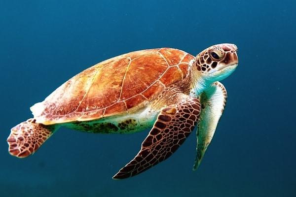 L'avventurosa tartaruga di mare