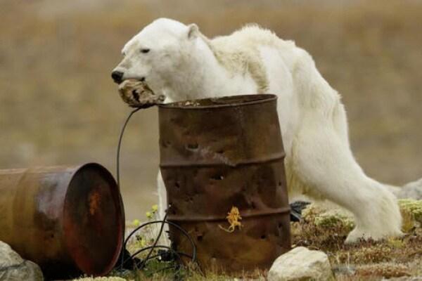 L'orso polare muore di fame: la colpa è dell'uomo!